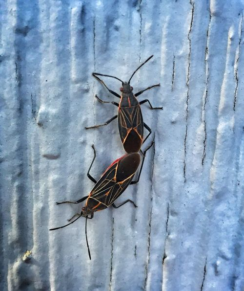 Mating Boxelder Bug Insect Macro Bugs Insects  Procreate Nature Spring Pest Streamzoofamily Nature_collection Insect Photography Bug