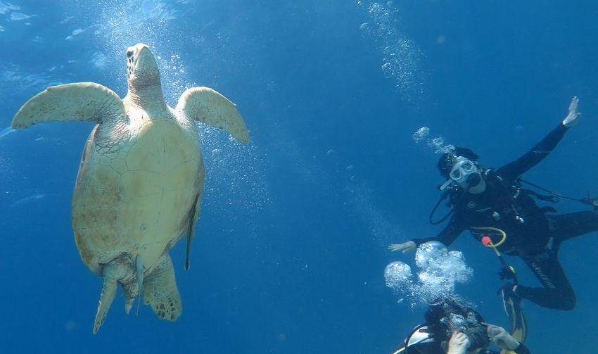 Panglao Bohol Philippines Diving Turtle Balicasag