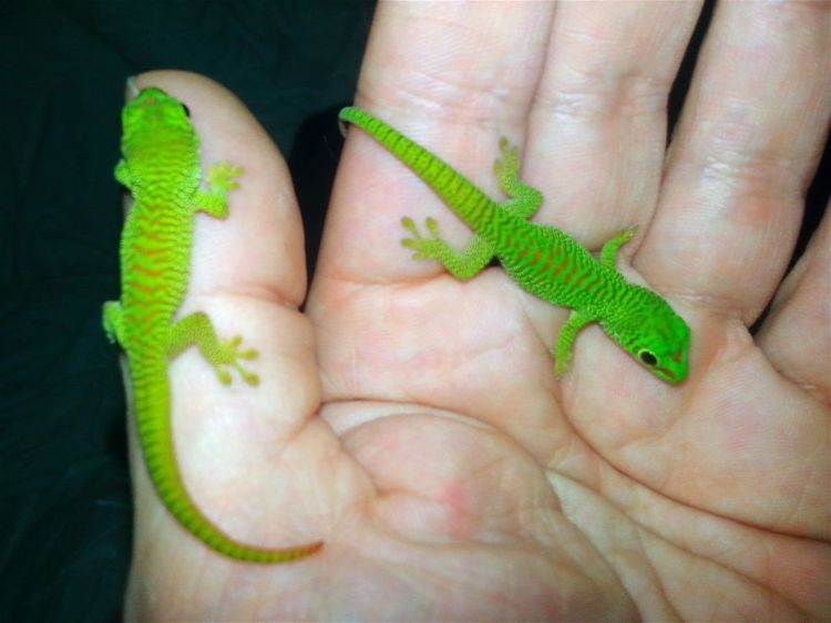 Both grandis baby's born today. Human Hand Green Color Animal Themes Jurassic World Dino's Photography Special_shots Check This Out Jurassic World Of Dino's God's Beauty New Green Exotic Pets Exotic Animals FANTASTIC CREATURES Wonderful Nature Close-up Green Color Madagascar  Madagascar Nature Madagascar Gecko Madagascar  Exotic Creatures Born To Be Beautiful Madagascar  Hello World Real Life