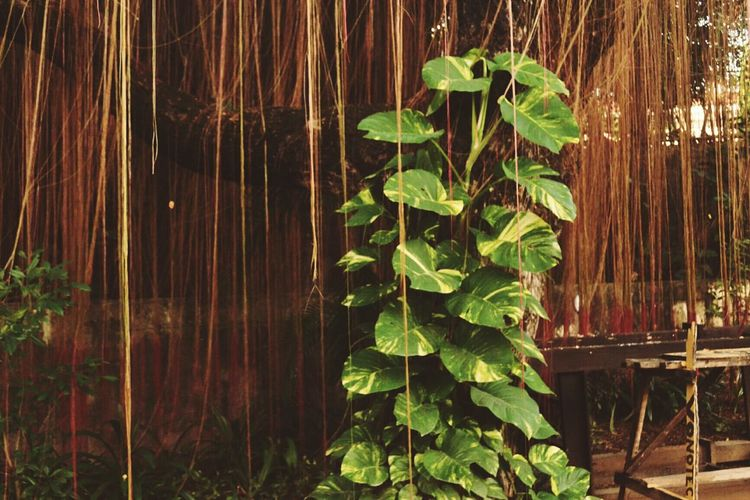 Leaf Nature Growth Green Color Plant No People Backgrounds Freshness Beauty In Nature Tree Outdoors Lush - Description Day Balete Balete Tree Philippines Strangler Fig Retake Green Space