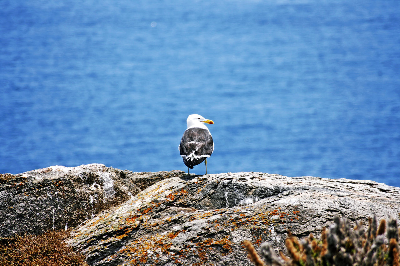 bird, animals in the wild, animal themes, animal wildlife, animal, one animal, vertebrate, rock, rock - object, water, perching, solid, sea, no people, nature, seagull, day, blue, focus on foreground, outdoors