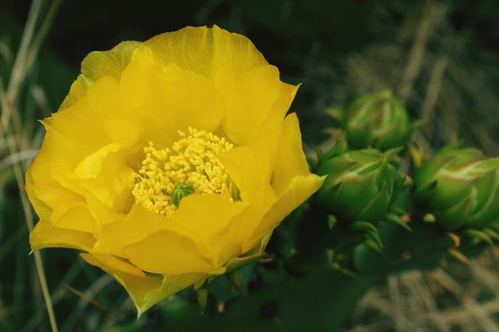 Cactus blossom. Yellow Flower Cactus Blossom Cactus Bloom Color Nature Green Outdoors Succulents Flora