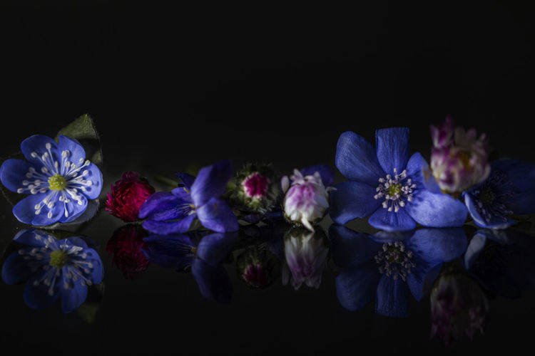 Close-up of purple flowers against black background