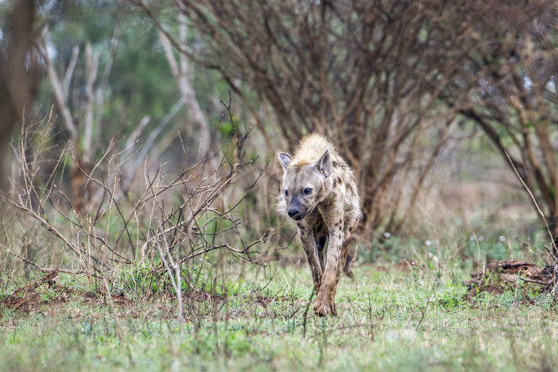 Hyena walking on grass in forest