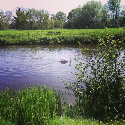 Dedham Essex Walk Riverstowe spring nature swan instagramed