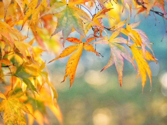 EyeEm Selects Autumn Leaf Change Nature Beauty In Nature Tree Maple Leaf Outdoors Maple Tree Growth Day No People Branch Tranquility Maple Low Angle View Scenics Close-up Sky