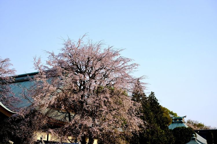 Low angle view of cherry tree against clear sky