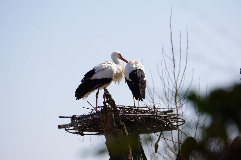 Low angle view of white storks on nest against clear sky