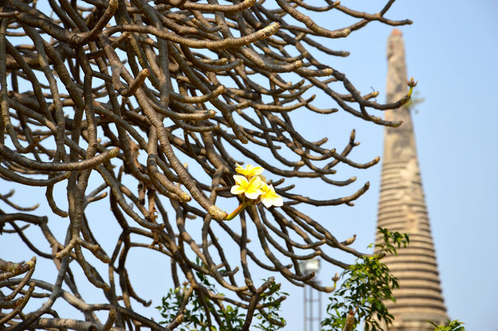 Art Art And Craft Beauty In Nature Branch Clear Sky Close-up Creativity Day Flower Growth Leaf Low Angle View Nature No People Outdoors Plant Showcase April Sky Spotted In Thailand Tree Tree Trunk Yellow