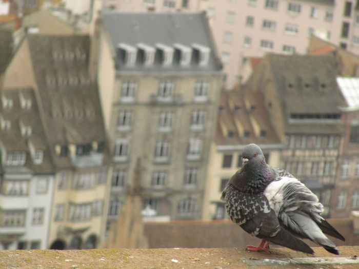 pigeon, cathédrale Animal Animal Themes Animal Wildlife Animals In The Wild Architecture Bird Building Building Exterior Built Structure City Close-up Day Focus On Foreground No People One Animal Outdoors Perching Residential District Vertebrate Window