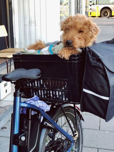 Dog on a bike Domestic Mammal Domestic Animals Pets One Animal Animal The Art Of Street Photography Animal Themes Dog Canine Transportation Bicycle Day Looking At Camera