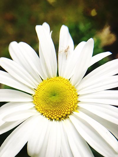 Fragility Freshness Petal Flower Head Flower Beauty In Nature Daisy Close-up White Color Pollen Daisy Growth Yellow Springtime White Single Flower In Bloom Nature Macro Botany Selective Focus