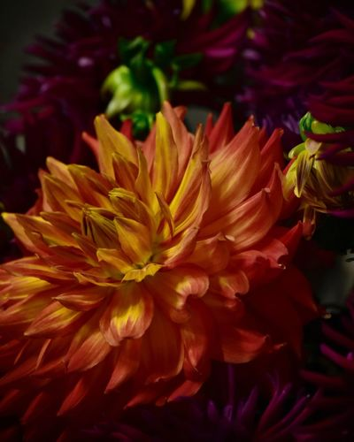 Dahlia Dahlia Flowers Dahlia Flower Background Backgrounds Flowering Plant Flower Plant Vulnerability  Fragility Petal Beauty In Nature Close-up Freshness Flower Head Inflorescence Growth Nature No People Red Multi Colored Focus On Foreground Indoors  Backgrounds Vibrant Color