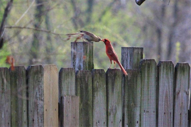 Cardinals Kiss