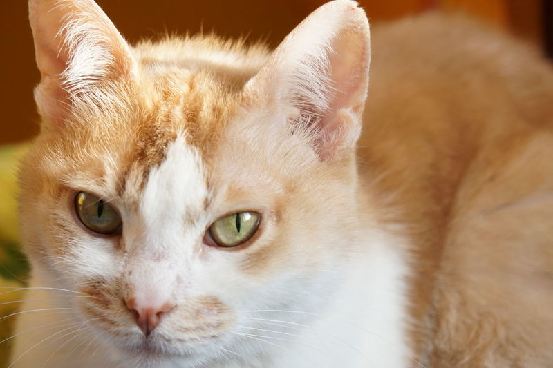 Cat♡ Cat Eye Yellow Eye Domestic Cat Portrait Pets Looking At Camera Feline Domestic Animals Cute Indoors  Mammal No People Day Animal Themes Close-up