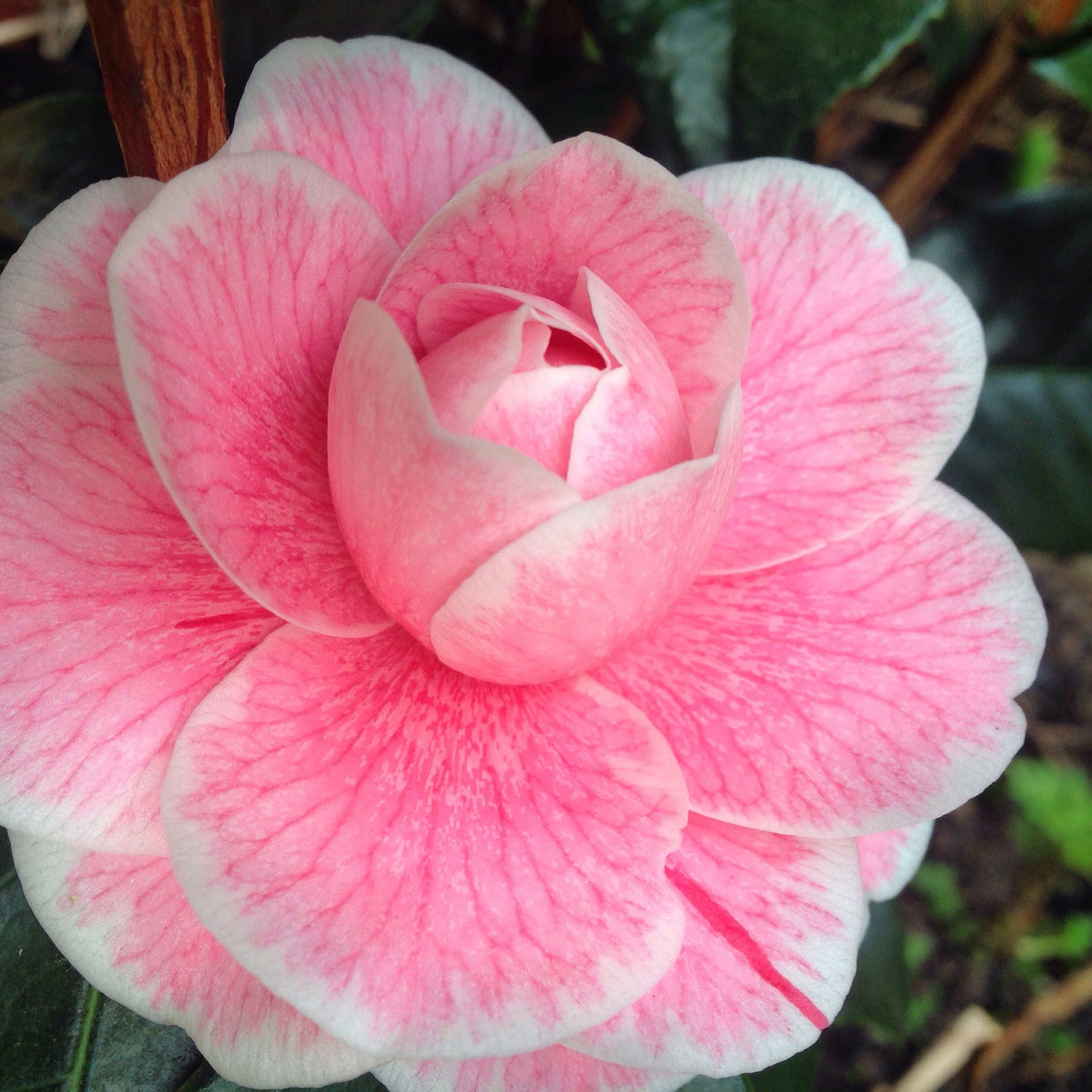 flower, petal, flower head, fragility, freshness, beauty in nature, close-up, growth, pink color, single flower, blooming, nature, rose - flower, focus on foreground, in bloom, plant, rose, outdoors, day, no people