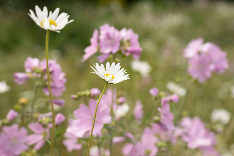 Close-up of fresh pink flowers on field