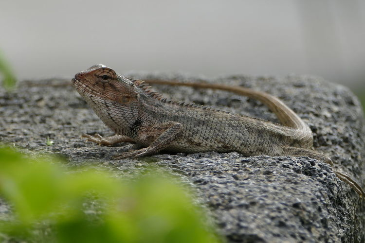 Animal Themes Animal Wildlife Animals In The Wild Close-up Day Iguana Lizard Nature No People One Animal Outdoors Reptile Selective Focus