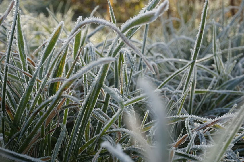 7939 Agriculture Beauty In Nature Close-up Day Daylight Field Frosty Frosty Grass Frosty Grass Blades Frosty Morning Grass Green Green And White Growth Long Grass Nature No People Outdoors Plant Rural Scene Tranquility White