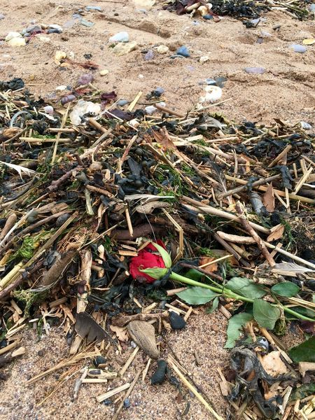 Romance Is Dead  Detritus Beach Debris Washed Up Rose🌹 Seaweed Forgotten Abandoned Love ♥