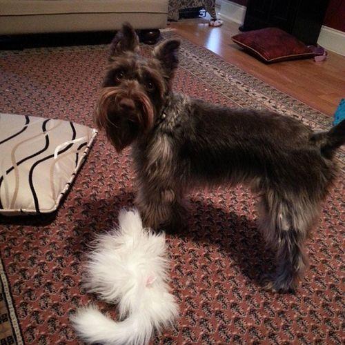 Day 3: Fetch Sullysbigseptember Photochallenge Jack Schnauzer brown puppy dog cutee cute
