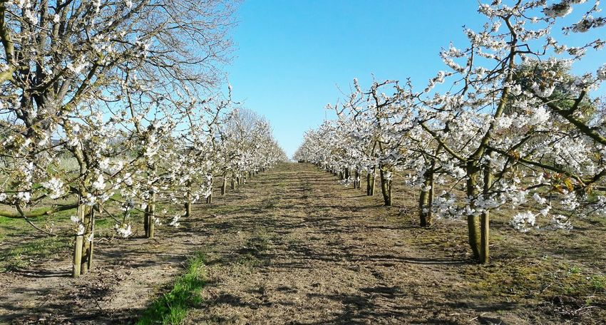 Fruit Trees Fruit Blossom Agriculture Nature Growth Trees In A Row Monoculture Plantation Landscape Pesticides Kill Bees Pesticides Beekeeping No People Sky Outdoors Rural Scene Spring Springtime Day