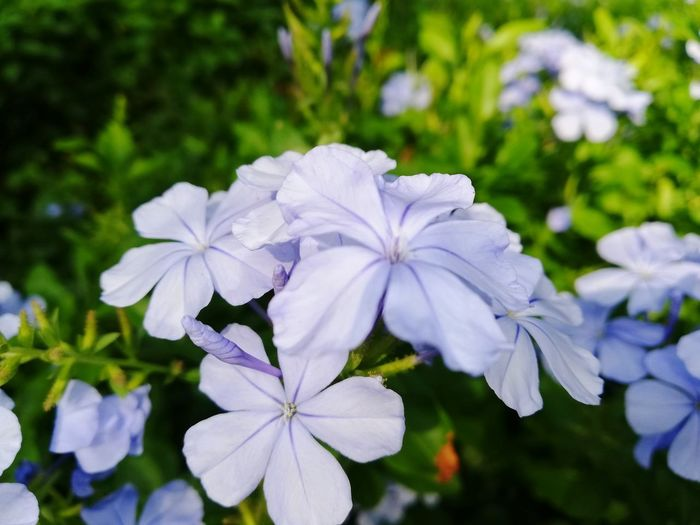 Monsoonmagic Flower Head Flower Periwinkle Close-up Plant