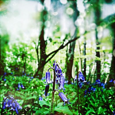 Bluebells in our wood Focus On Foreground Nature No People Day Growth Beauty In Nature Outdoors Flower Green Color Tree Plant Close-up Fragility Animal Themes Freshness