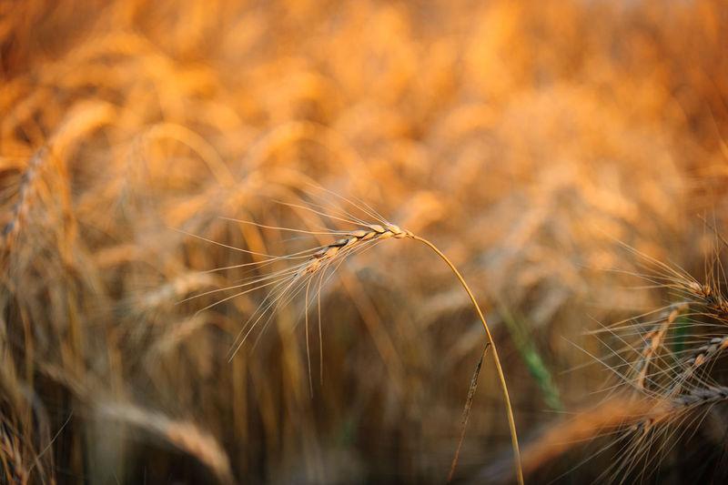 Wheat crops growing on field