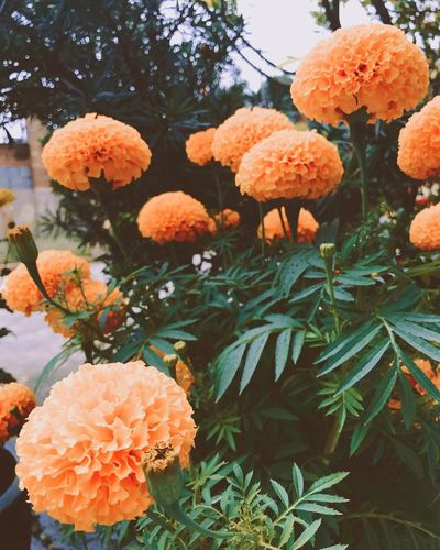 Tetholiday Traditionalholiday Vietnamflowers Flower Nature Freshness Orange Color Growth Outdoors Fragility No People Plant Beauty In Nature Tree Day Flower Head Sky