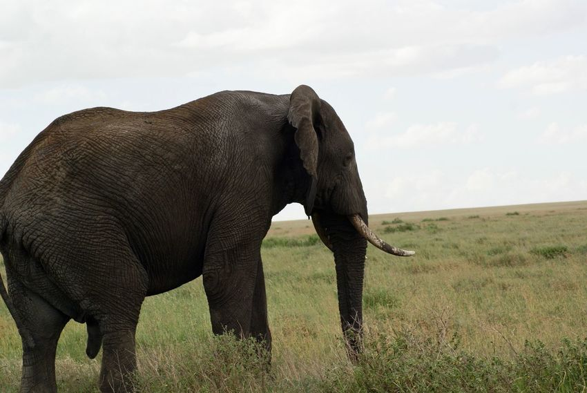 Animales Animals In The Wild Tanzania A Africa African Beauty African Elephant African Safari Animal Animal Themes Animal Wildlife Animals In The Wild Beauty In Nature Big Five Elephant Elephants Mammal Nature One Animal Safari Safari Animals Trunk Tusk