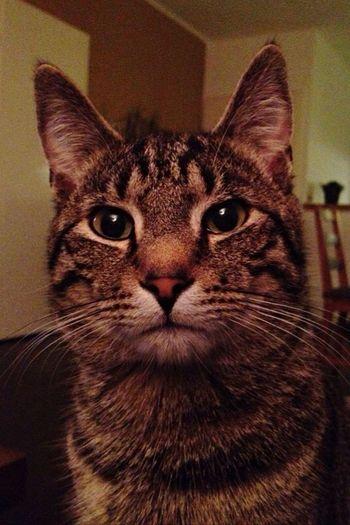 Ramses Cat King Sparkling Eyes