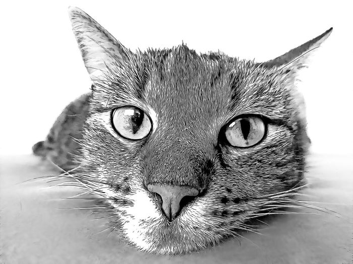 Cat Domestic Cat Animal Mammal Domestic Domestic Animals Pets Feline One Animal Animal Themes Close-up Vertebrate Looking At Camera Portrait Animal Body Part Whisker No People Animal Head  White Background Indoors  Animal Eye Snout Animal Nose Tabby Cartoon
