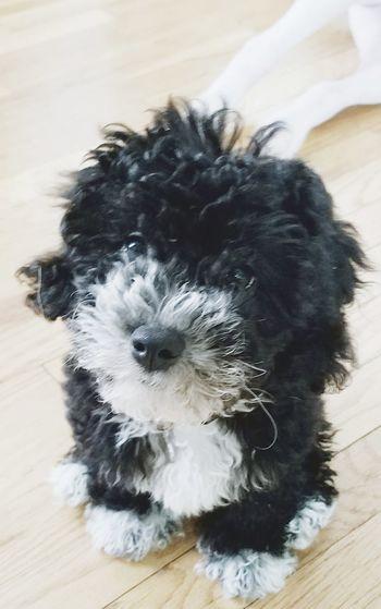 Puppy Love Puppy Face Pets Animal Cute Domestic Animals Black Color Puppy Sitting One Animal Maltipoo Black & White Love Animal Themes Close-up
