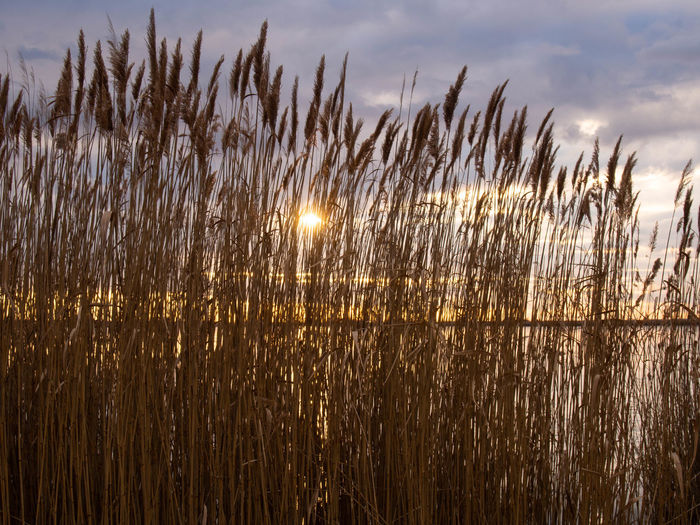 Sky Growth Nature Tranquility Plant Beauty In Nature No People Sun Cloud - Sky Sunlight Grass Sunset Water Tranquil Scene Land Outdoors Field Crop  Rural Scene Scenics - Nature Stalk