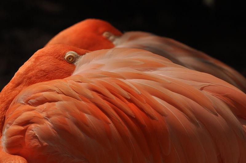 Two Coral Flamingos Pantone Pantone Living Coral Coral Color Of The Year 2019 Living Coral Flamingo Animal Bird Feather  Beauty In Nature Beautiful Coral Color Flamingo Flamingos Flamingoes Close-up Animal Wildlife Animal Themes Feathers Animal Eye EyeEm Best Shots EyeEm Selects Exotic Birdwatching