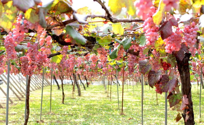 Autumn Fall Fruit Grape Grapes ぶどう 果物 秋 食欲の秋