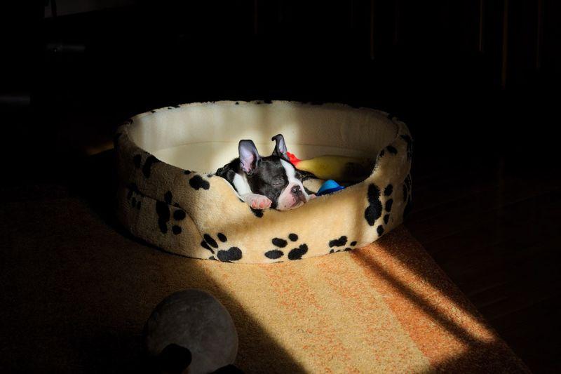 Cute puppy sleeping in pet bed indoors