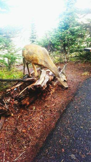 Hurricane Ridge Olympic Peninsula Port Angeles Washington Deers Wildlife & Nature