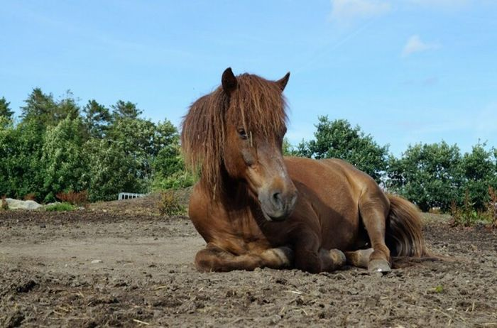 What Who Where Animal Themes Brown Nature Sky Icelandic Horse Horse Horsephotography Relaxing In The Sun