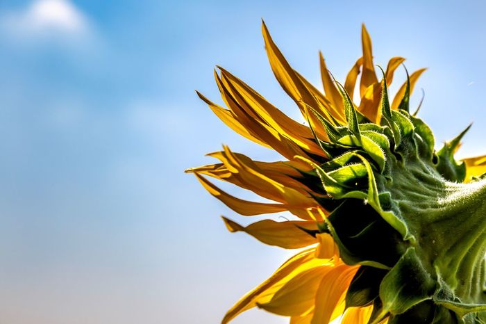 Summer Sunflower Growth Plant Sky Nature Beauty In Nature Close-up Freshness Outdoors Vulnerability  No People Petal Flower Flowering Plant Day Leaf Low Angle View Plant Part Green Color Fragility Sunlight