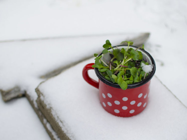 Winter Close-up Day Enamel Food Food And Drink Freshness Green Color Healthy Eating Indoors  Microgreens No People Ready-to-eat Red Snow Vegan Vegan Food