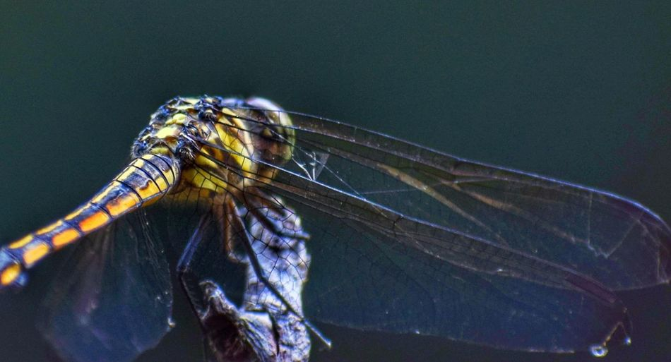 wings Insect