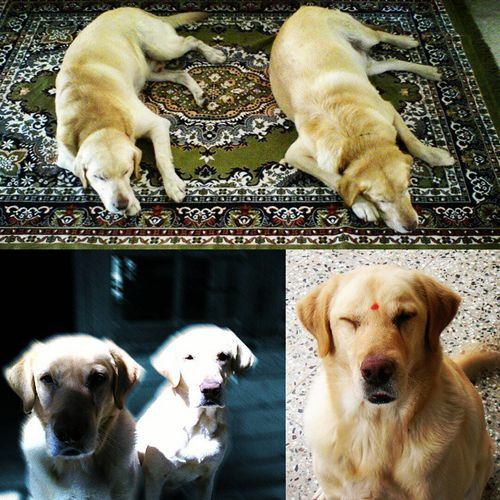 Rest in peace my brothers. Miss you guys a lot. Thank you for your unconditional love and care. Wish more of us could learn that from you. Ronnie Twins Mybrothers Mykeeper Labrador Labsofinstagram Labs Retriever Retrieversofinstagram UnconditionalLove Loyalty