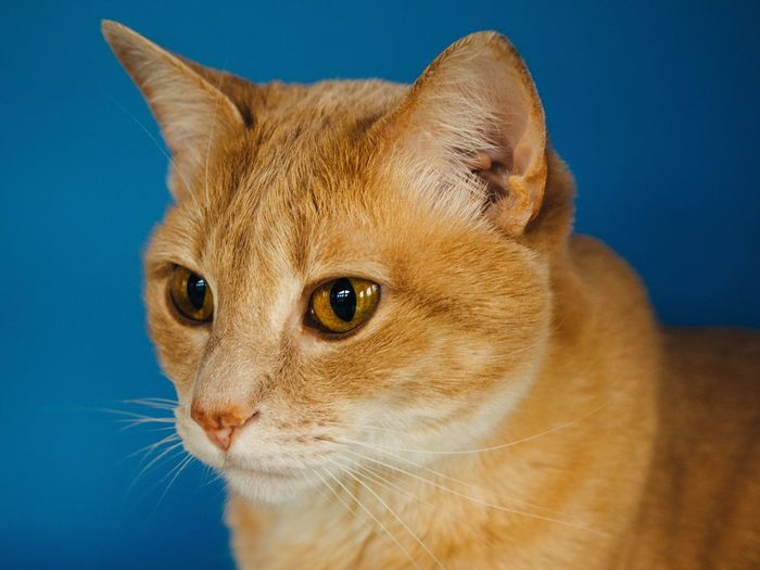 Close-up portrait of ginger cat against blue background