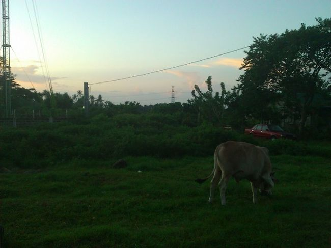 Greens, grass Tree One Animal Outdoors Sky Livestock Cow