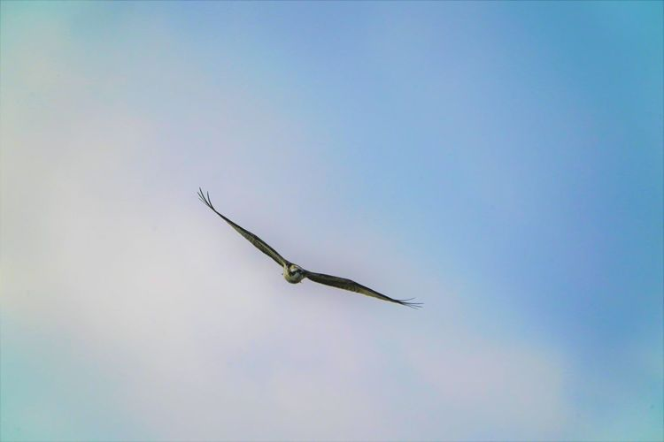 Animal Animal Themes Animal Wildlife Animals In The Wild Beauty In Nature Bird Blue Clear Sky Day Flying Low Angle View Mid-air Motion Nature No People One Animal Outdoors Sky Spread Wings Vertebrate