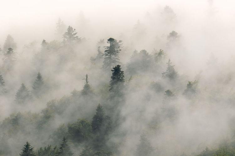 Coniferous forest in fog, plitvice lakes national park, croatia