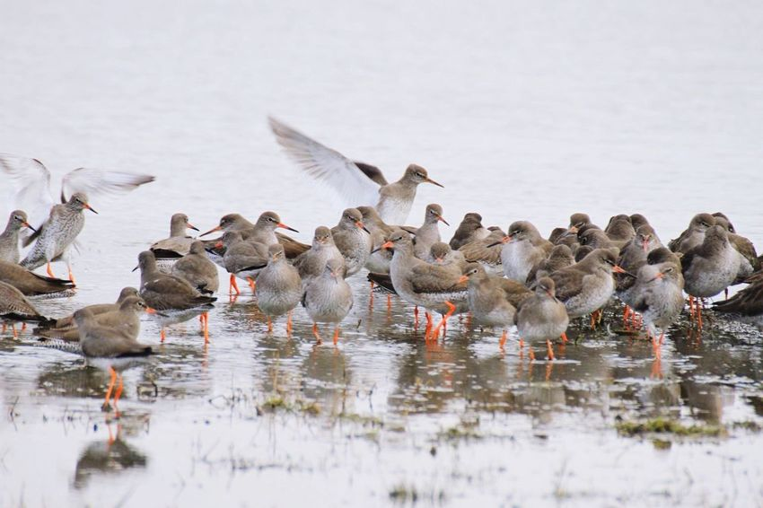 Redshanks at Levenhall Links, Musselburgh Eastlothian Birdlife Scotland Nature Waders Redshanks
