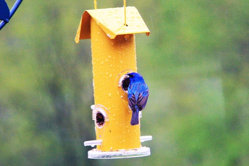 Animal Themes Animals In The Wild Bird Blue Close-up Day Focus On Foreground Indigo Bunting Nature No People Outdoors Perching Yellow